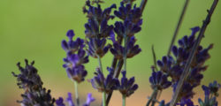 Essential Oils in Dental Products and Practice